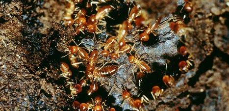 Chez les termites, l'homosexualité est parfois une question de survie | EntomoNews | Scoop.it