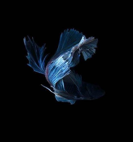 Combattants – De magnifiques portraits de poissons | Creative Explorations | Scoop.it