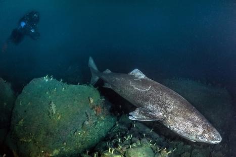 Les requins du Groenland pourraient vivre jusqu'à 400 ans | Zones humides - Ramsar - Océans | Scoop.it