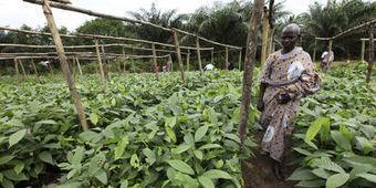 Côte d'Ivoire : les prix du cacao seront fixés par l'Etat | Banania Split | Scoop.it