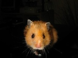 Top 47 Most Common Hamster Names   Interesting Names   Boys, Girls, Last Names and Pets   Scoop.it