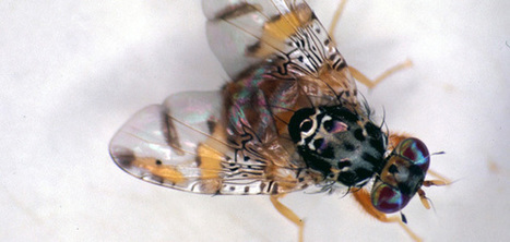 Pomme, attention à la mouche de méditerranée | Arboriculture: quoi de neuf? | Scoop.it