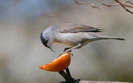 RSPB garden birdwatch: Can you identify these garden birds?   Gardening   Scoop.it