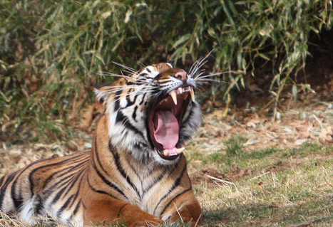 Happy Global Tiger Day (Photos) | OUR CUDDEDLY WILD CATS... | Scoop.it