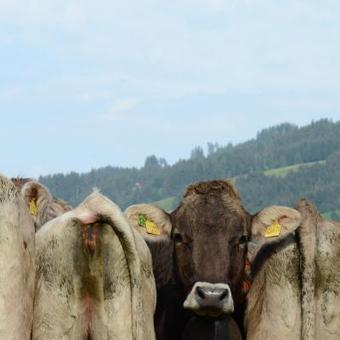 Les pets de vaches peuvent être reconvertis pour produire de l'énergie | Mais n'importe quoi ! | Scoop.it