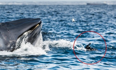 #Diver's close #escape as he gets in between 40-tonne #BrydesWhale & its lunch | Rescue our Ocean's & it's species from Man's Pollution! | Scoop.it