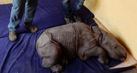 Kaziranga Park: A Week Old Baby Rhino Rescued by the Staff | India Travel & Tourism | Scoop.it
