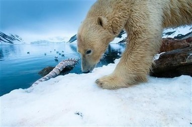 Environmental Toxins Discovered in Polar Bear Brains: Chemical Danger for Wildlife | Wildlife | Scoop.it