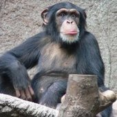First Evidence of Leopard Eating a Chimp Found : DNews | Teacher Tools and Tips | Scoop.it