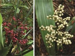 Two new plant species native to Singapore found | Cool tidbits about plants | Scoop.it