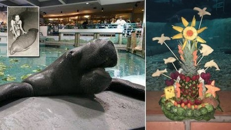 Happy 68th, Snooty! World's Oldest Manatee Honored With Birthday Bash | enjoy yourself | Scoop.it