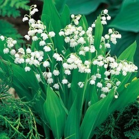 Lily-of-the-Valley | Springhill Nursery | Scoop.it