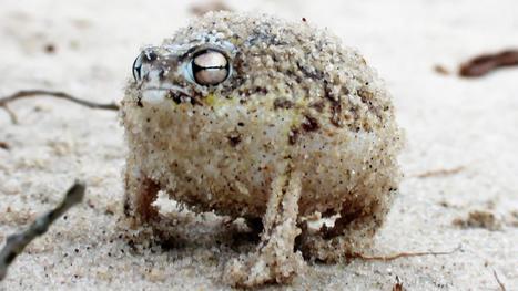 Le cri de guerre terrifiant de la grenouille du désert - La boite verte | Les déserts dans le monde | Scoop.it