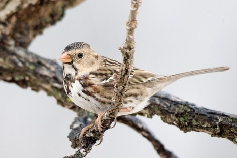 Harris' Sparrows a sign of winter   Mary Ann's Nature Articles from The Hutto News   Scoop.it