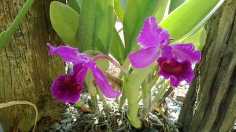 Orchid-Purple-vibrant-in front of-my-house-แคททรียา-กล้วยไม้-สีม่วง-สดใส-บานที่หน้าบ้านผม   My Photo  :Share Picture For Everyone   Scoop.it