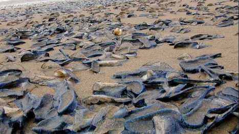 News - Millions of jellyfish-like ceatures called velella velella take over U.S. west coast beaches - The Weather Network | All about water, the oceans, environmental issues | Scoop.it