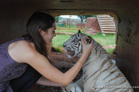 Is Lion Tourism in South Africa Ethical? | Ethical - Innovations -Tourism | Scoop.it