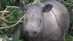 Des rhinocéros découverts à Bornéo au grand dam des braconniers qui ne les avaient donc pas tous tués | Scoop Indonesia | Scoop.it