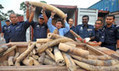 Malaysia seizes 1500 elephant tusks headed for China - The Guardian   Conservation, Ecology, Environment and Green News   Scoop.it