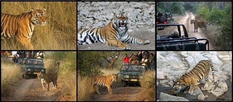 Plan Your Vacations For Tiger Safar   Safaris in India & Africa   Scoop.it