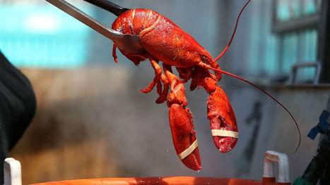Un pêcheur américain trouve un incroyable homard bleu dans ses filets | Zones humides - Ramsar - Océans | Scoop.it