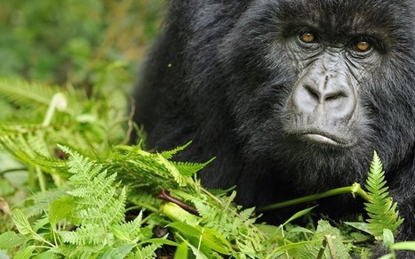 SOCO in dispute with Foreign Office over Britain's stance on controversial DRC drilling - Telegraph | Virunga - WWF | Scoop.it