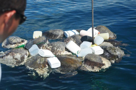 COSTA RICA: Longline fisheries in Costa Rica hook tens of thousands of sea turtles every year | World News | Scoop.it