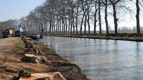 Appel aux dons pour sauver les platanes du canal du Midi   Biodiversité & Relations Homme - Nature - Environnement : Un Scoop.it du Muséum de Toulouse   Scoop.it