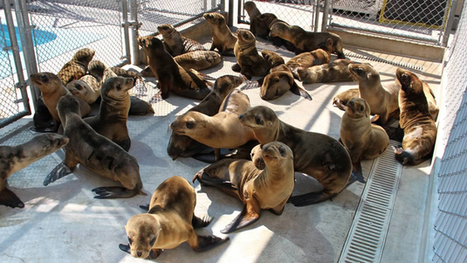 Baby sea lions are dying | Sustain Our Earth | Scoop.it