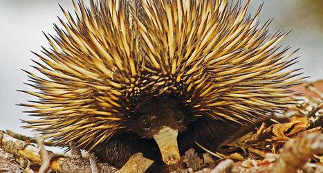 An echidna's to-do list: Sleep. Eat. Dig up Australia.   Biologie in de klas   Scoop.it