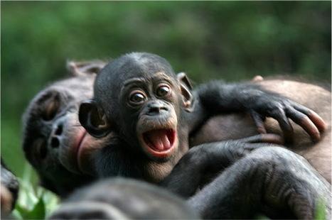 Need a hug? Study details human-like way bonobos show empathy.   Empathy and Animals   Scoop.it