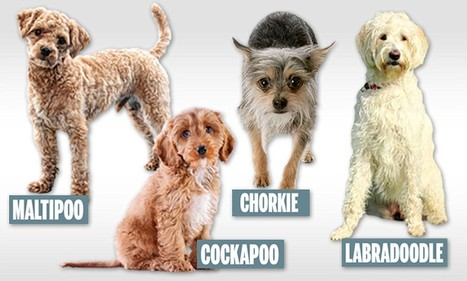 The hidden suffering of the dogs bred to be cute | The Global Village | Scoop.it