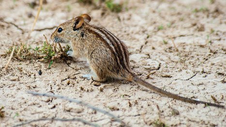 Key to zebra stripes may be found in African mouse | Cheval | Scoop.it