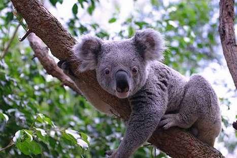 Koala a Amazing Animal | The Cheapest Flight to India | Scoop.it