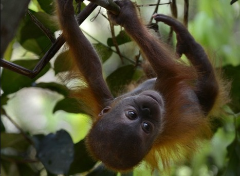 Sumatran Orangutans' Rainforest Home Faces New Threat - The Jakarta Globe | Chris' Regional Geography | Scoop.it
