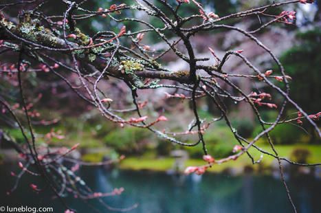 Nitobe Japanese Memorial Garden | What's Growing On | Scoop.it