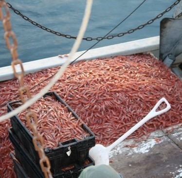 Maine shrimp: From boom to bust | OUR OCEANS NEED US | Scoop.it