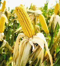 BusinessDay - More to choosing seed than yields | Food issues | Scoop.it