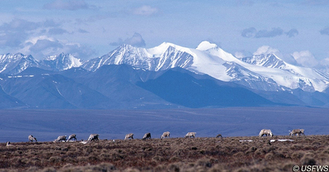Porcupine Caribou Migrating Through Arctic Wildlife Refuge | GarryRogers NatCon News | Scoop.it
