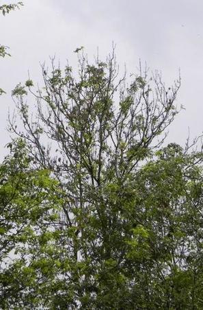 5 forêts fermées en raison du dépérissement des frênes | Protection du bois | Scoop.it