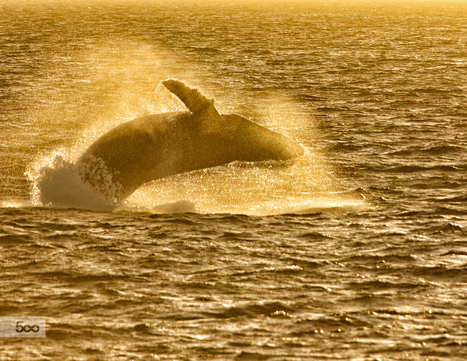 """humpback at sunset"" by Jeff Cohen on 500px 