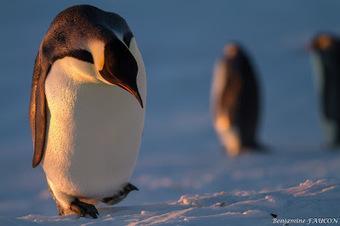 Faucon adélie: Des nouvelles de la manchotière #manchot empereur #antarctique #TAAF | Arctique et Antarctique | Scoop.it