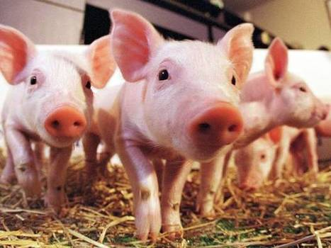 Scientists shot live pigs in the head to measure blood-spatter patterns - Science - News - The Independent | Nature Animals humankind | Scoop.it