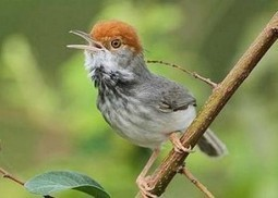 Scientists Find New Bird in Cambodia's Capital City | Environment News Service | Green Life, Healthy Life | Scoop.it