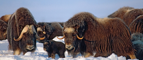 Muskox on the menu as Nunavut encourages return to traditional foods | Inuit Nunangat Stories | Scoop.it