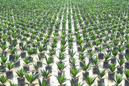 Olam et SIAT Gabon ont investi 380 milliards FCFA pour développer le palmier à huile au Gabon - Le Nouveau Gabon   Confidences Canopéennes   Scoop.it