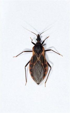 Growing concern in US: 'kissing bug' disease | Fox News | CALS in the News | Scoop.it