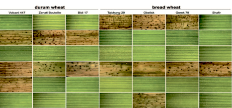 Molecular Plant Pathology: Effector discovery in the fungal wheat pathogen Zymoseptoria tritici (2015) | Fusarium and wheat | Scoop.it