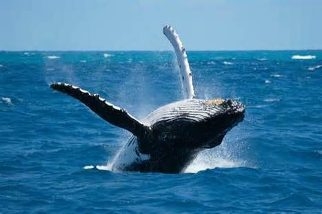 #Scientists Eye #Whale #Earwax To Study #Contaminants In #Oceans; 'It's Not Easy; It's Very Tedious'   Rescue our Ocean's & it's species from Man's Pollution!   Scoop.it