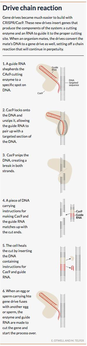 Gene drives spread their wings | Amazing Science | Scoop.it